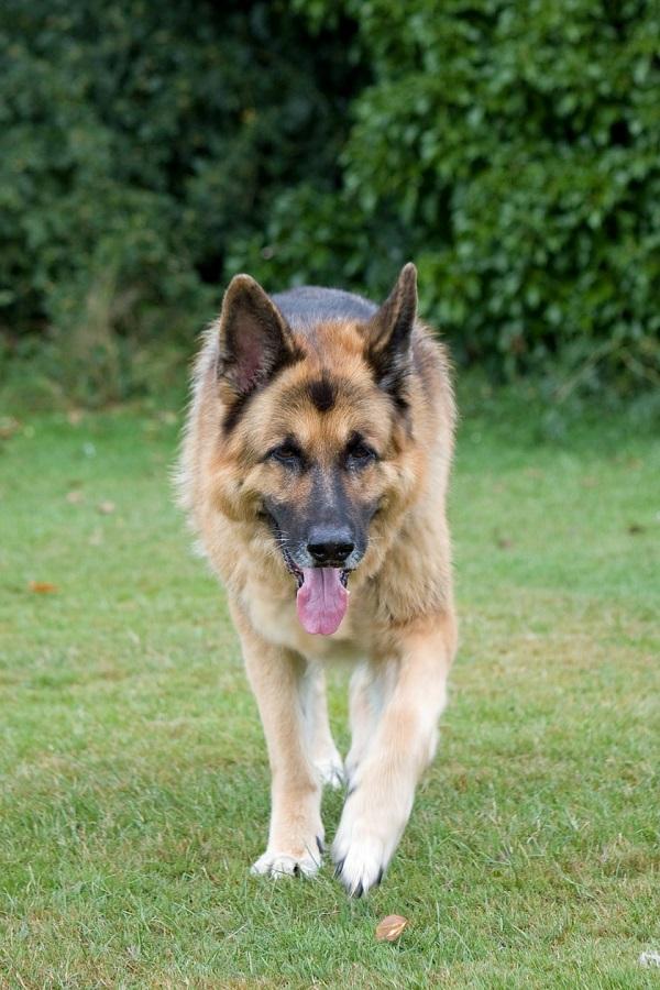 KMS Modul Hund Schäferhund